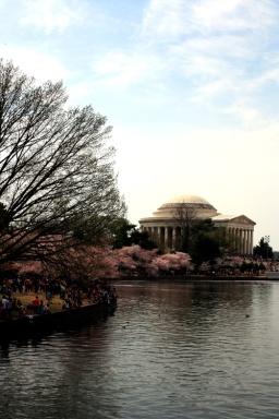Cherry Blossom 2014